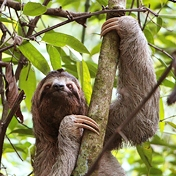 Lurking Sloth